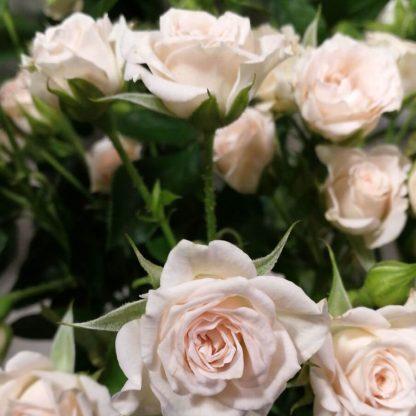 Ramo de rosas blancas en Madrid capital, 12 o 24 unidades