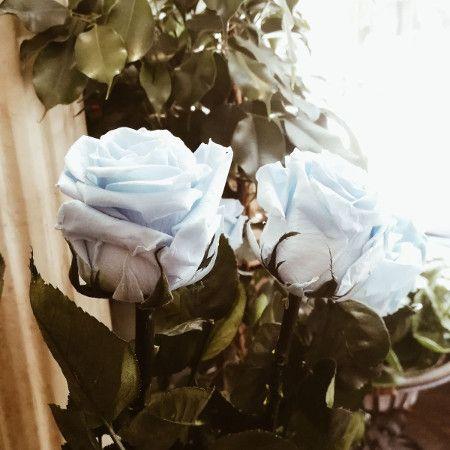 rosas preservadas blancas