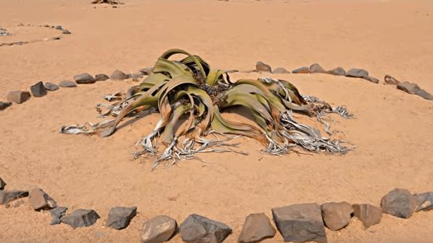 Welwitschia Mirabilis flor más longeva del mundo en el desierto
