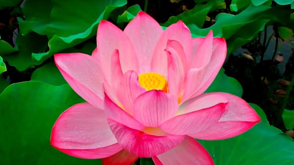 descubre las curiosidadesde las flores de loto