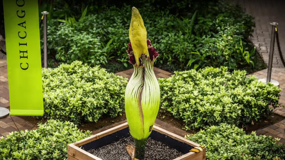 imagen de la flor cadaver en un invernadero