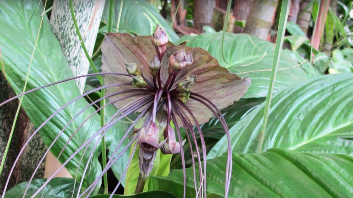 Flor con apariencia de murcielago llamada tacca