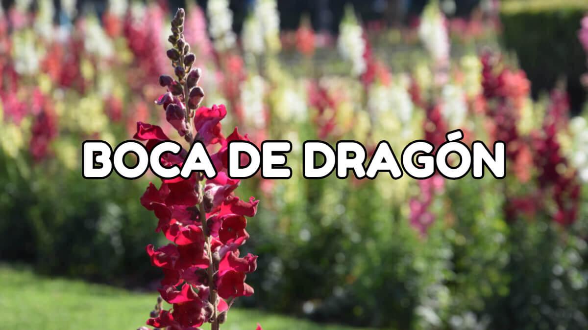 flor de primavera boca de dragón