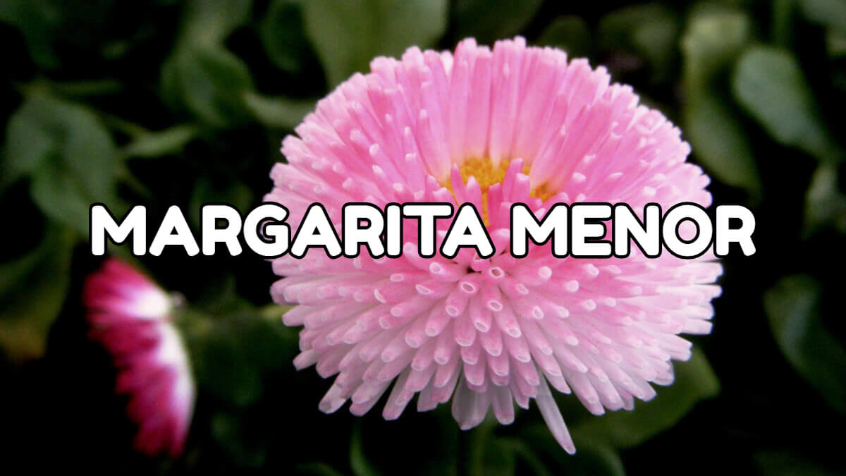 margarita menor florece en primavera