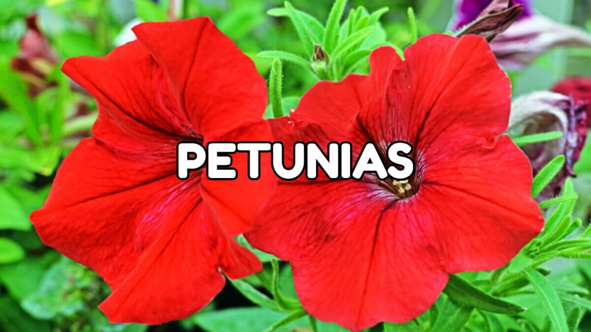 petunias de primavera