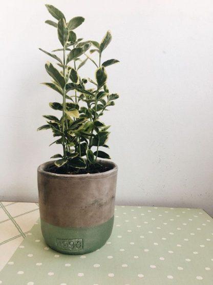 Maceta de porcelana con planta decorativa
