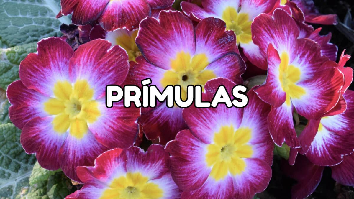 prímulas de primavera