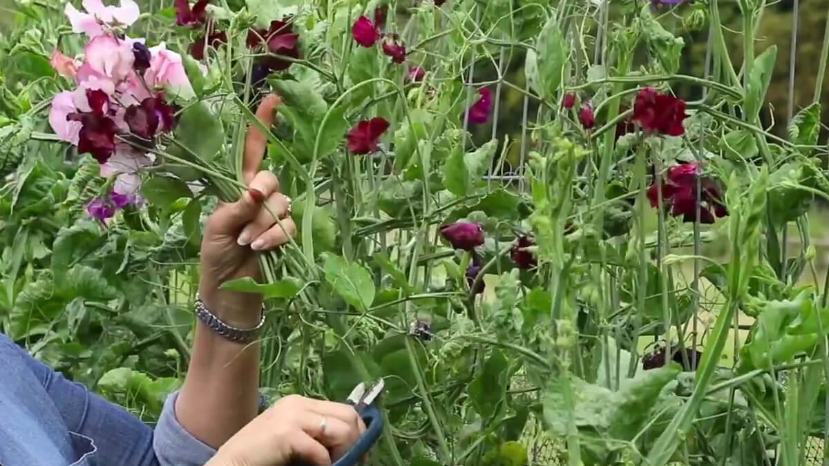 cortar el tallo de las flores en su máximo esplendor
