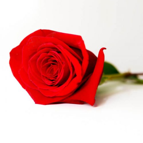 Rosa eterna rojo