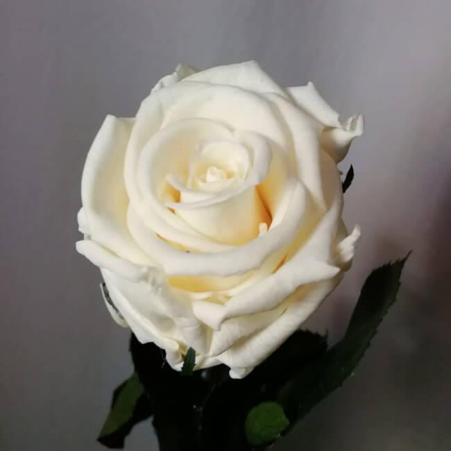 Rosa liofilizada blanca