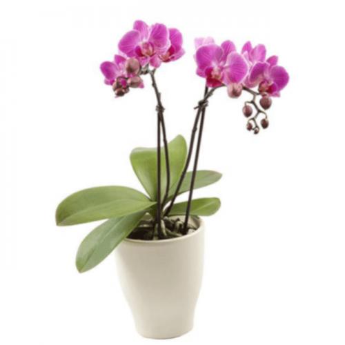 Comprar orquidea en Madrid