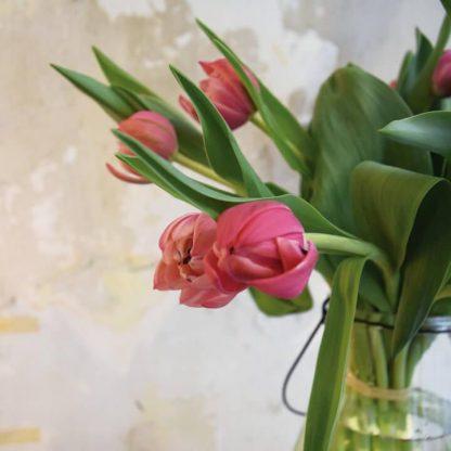 Bulbos de tulipanes rosas