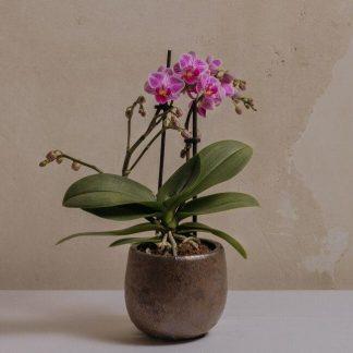 Comprar mini orquídea en Madrid centro