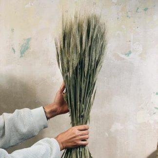 Espigas de trigo preservado decorativas