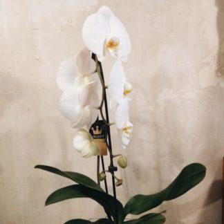 phalaepnosis orquidea con cubre maceta de cristal
